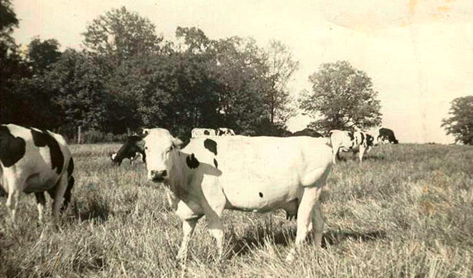 Our cows grazing years ago.